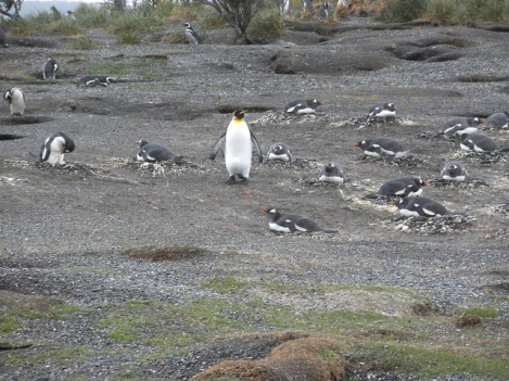 Lost King Penguin in Argentina