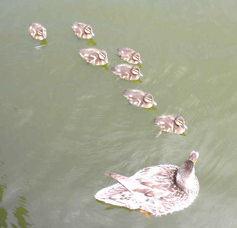 Mother Duck with Seven Ducklings