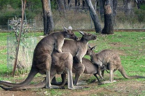 News Coverage Multiplies Like ... Well ... Kangaroos