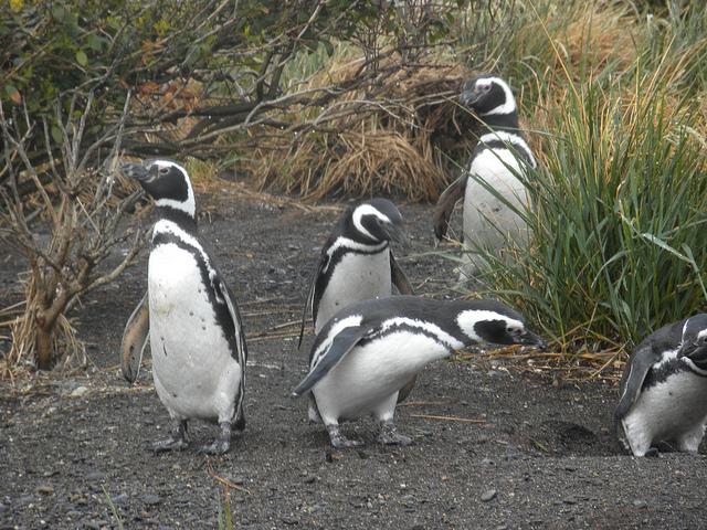 Adult Magellanic Penguins