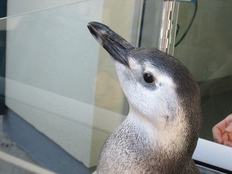 Young Magellanic Penguin at the Aquarium of the Pacific
