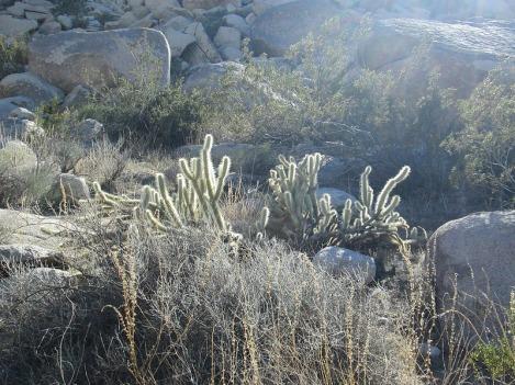 Backlit Cholla Cactus