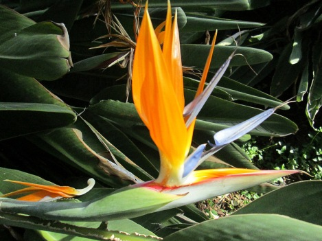 Bird of Paradise at Los Angeles Arboretum