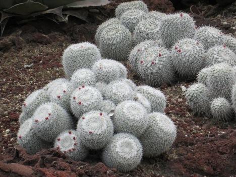 Mammillaria geminispina