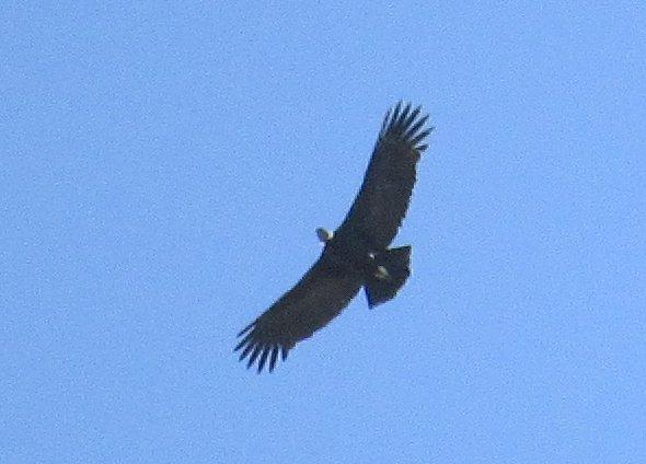 Condor at Cruz del Condor