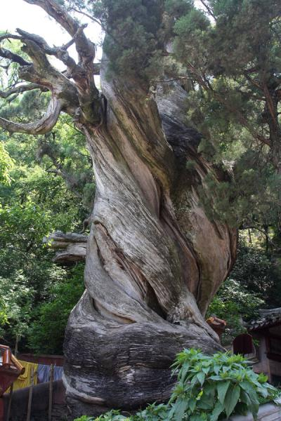 Ancient Chinese Cypress
