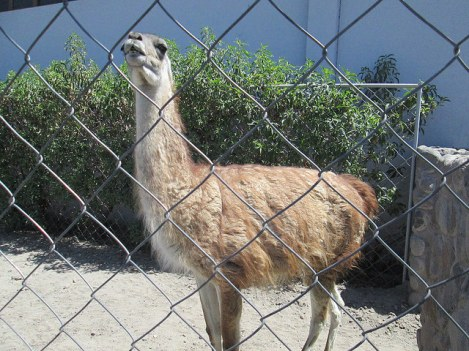 A Caged Guanaco with Exquisite Aim