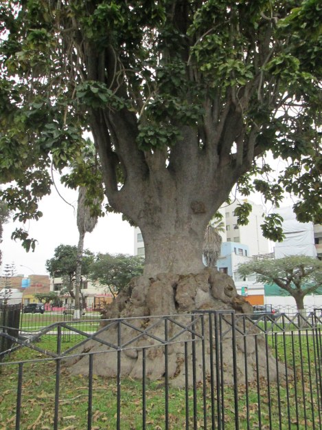 I Had to Come All the Way to Peru to See This Argentinian Tree