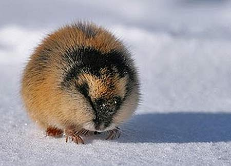 An Actual Lemming. Cute, Huh?