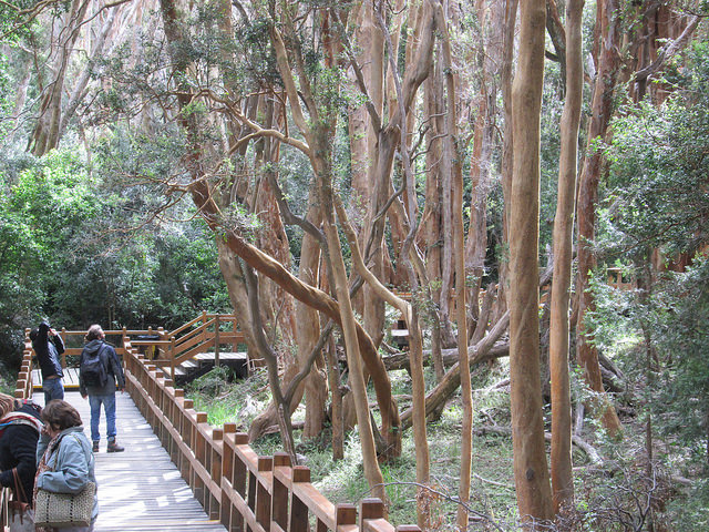 A Forest of Chilean Myrtles at Los Arrayanes National Park