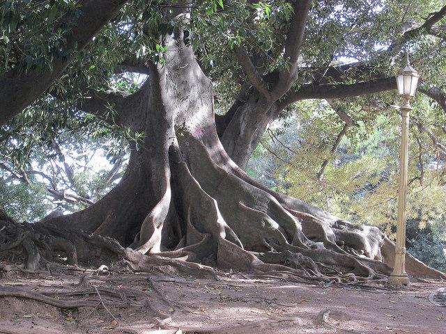 Ombú Tree in Recoleta, Buenos Aires