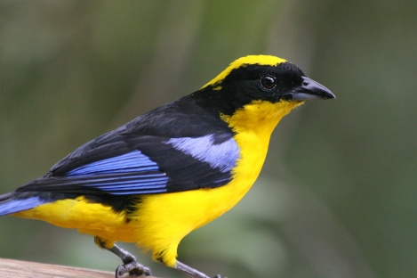 Mountain Tanager