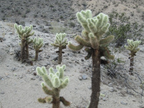 """Teddy Bear"" Cholla Cactus"