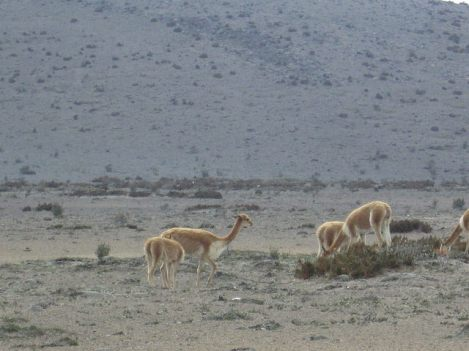 A Herd of Wild Vicuñas