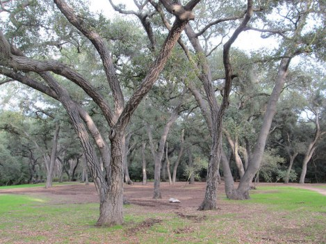 Some of the Oak Forest at Descanso