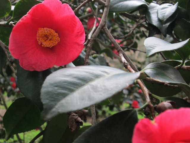 Red Camellia Blossom at Descanso Gardens