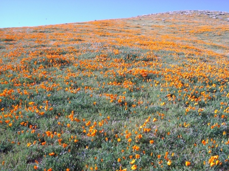 A hill at the California Poppy Preserve in Los Angeles's Antelope Valley in Spring 2003.